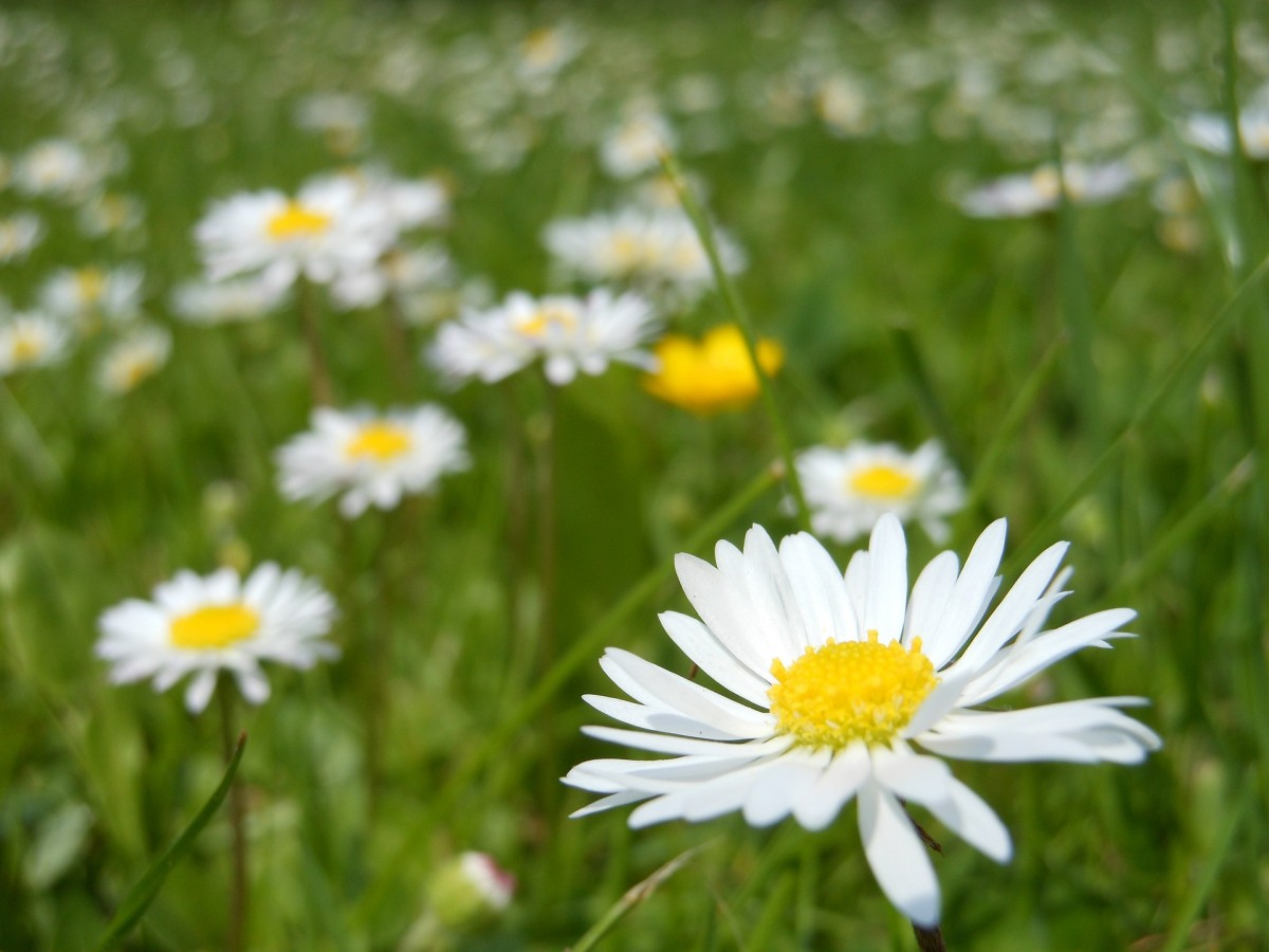 daisies-364737_1920